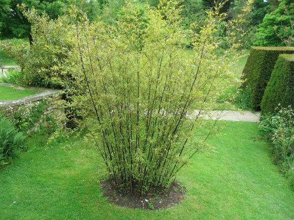 How to grow bamboo: phyllostachys nigra