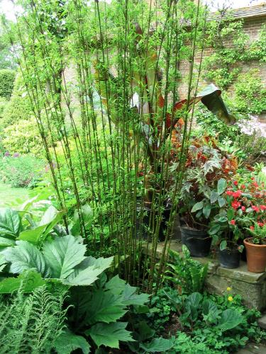 how to grow bamboo himalaycalamus