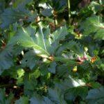 Acanthus mollis foliage