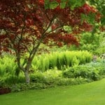 Acer palmatum 'Bloodgood': Japanese Garden Star