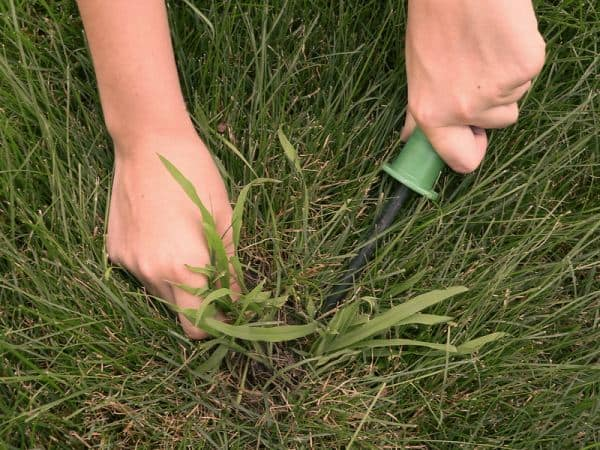 Weeds: removing crabgrass