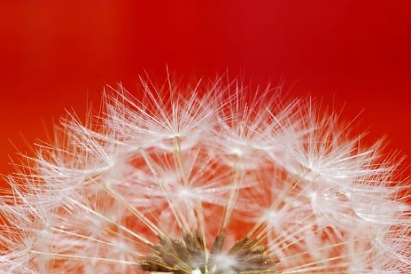 Weed control dandelion seeds