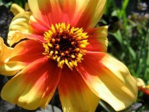Single flowered dahlia