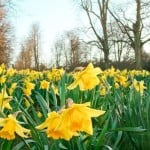 narcissus: field of daffodils