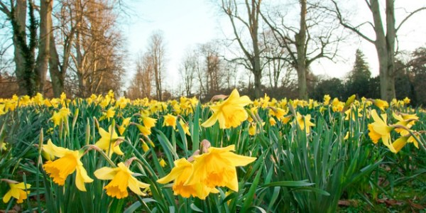 How to Grow Narcissus:  Daffodil Plant Notes