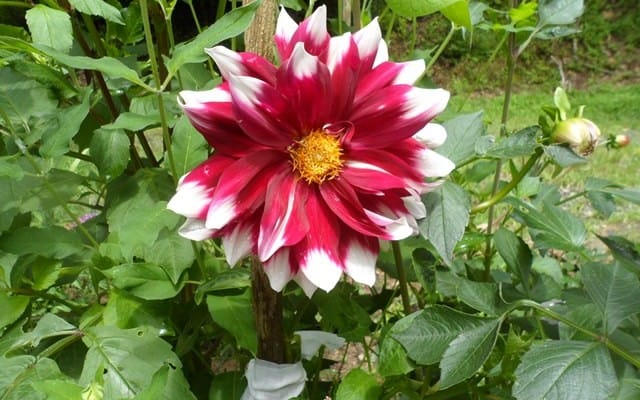Red and white tipped dahlia