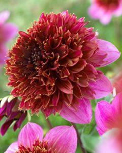 anenome flowered dahlias