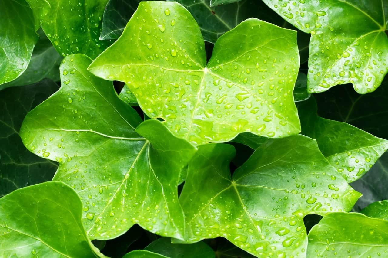 English Ivy: Hedera Helix, Plant Notes