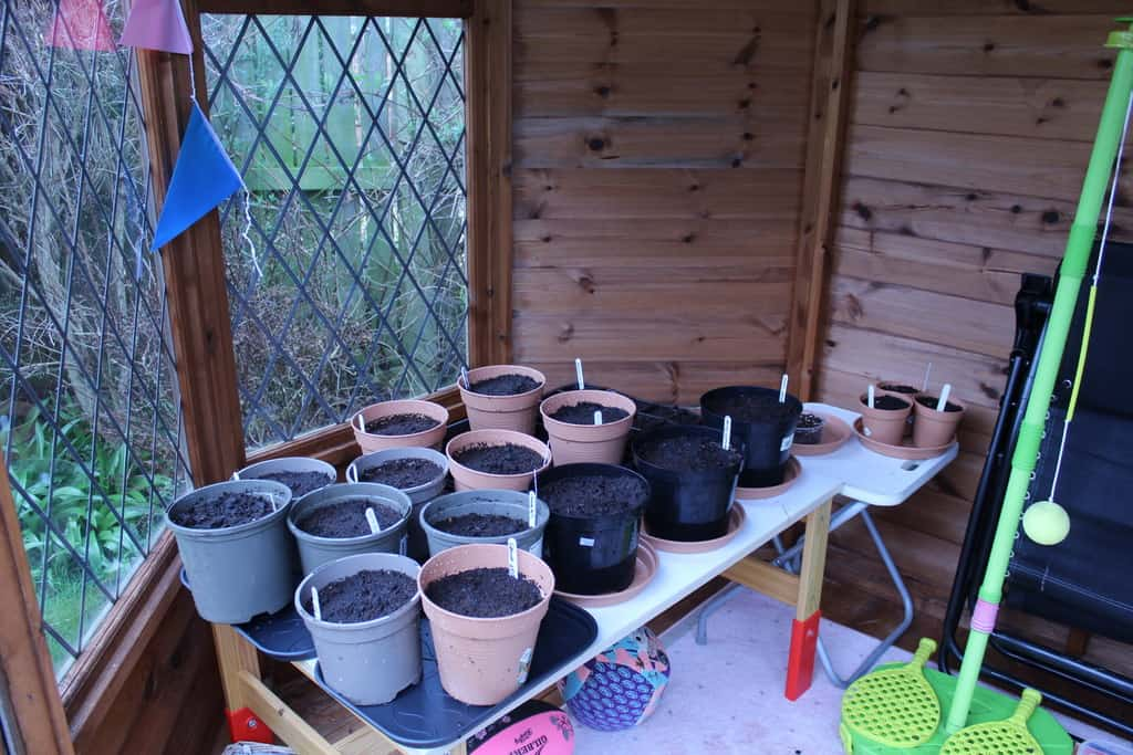 Bargain Canna in pots