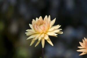 Semi cactus dahlia orangefarbene