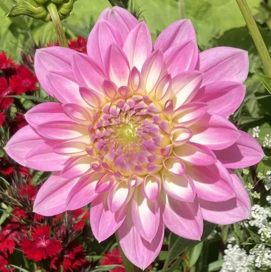 Dahlia - the summer garden