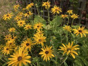 September garden - Rudbeckia