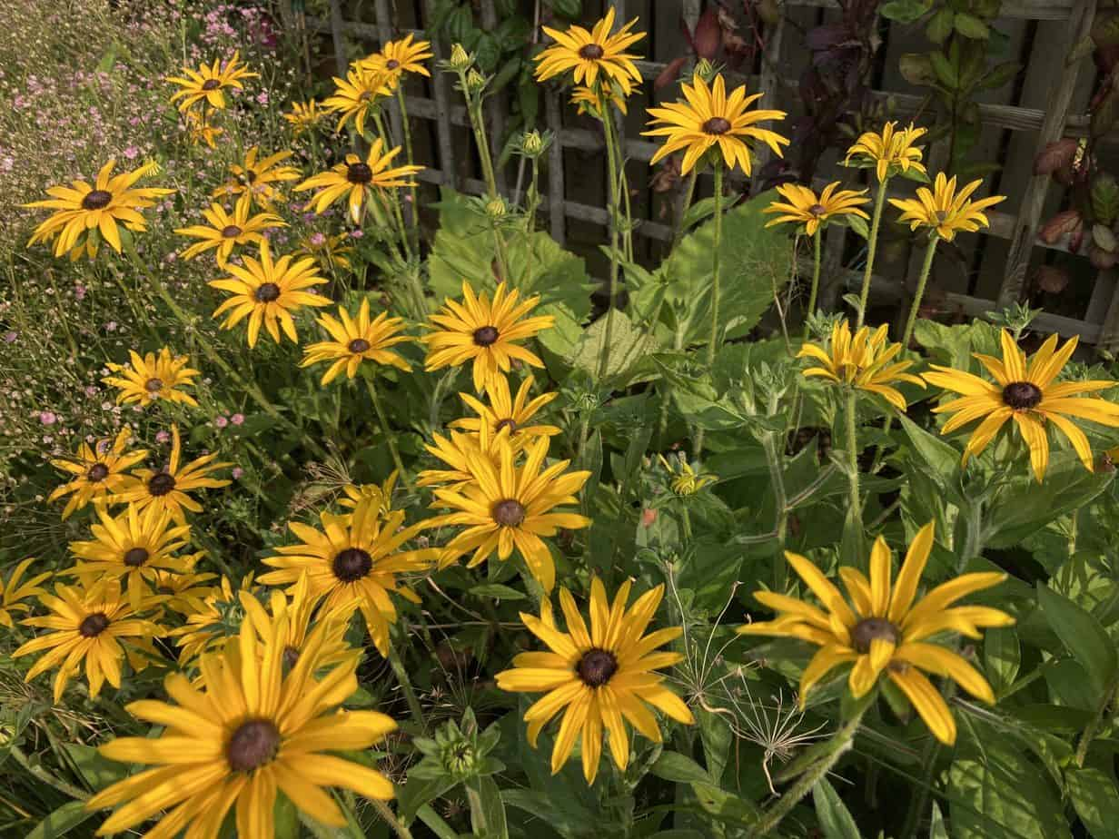 September garden - Rudbeckia