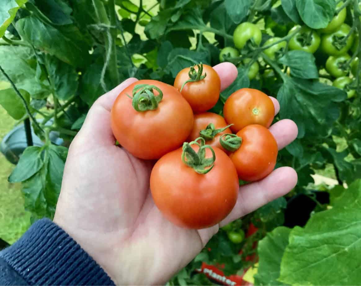 Tomatoes not ripening