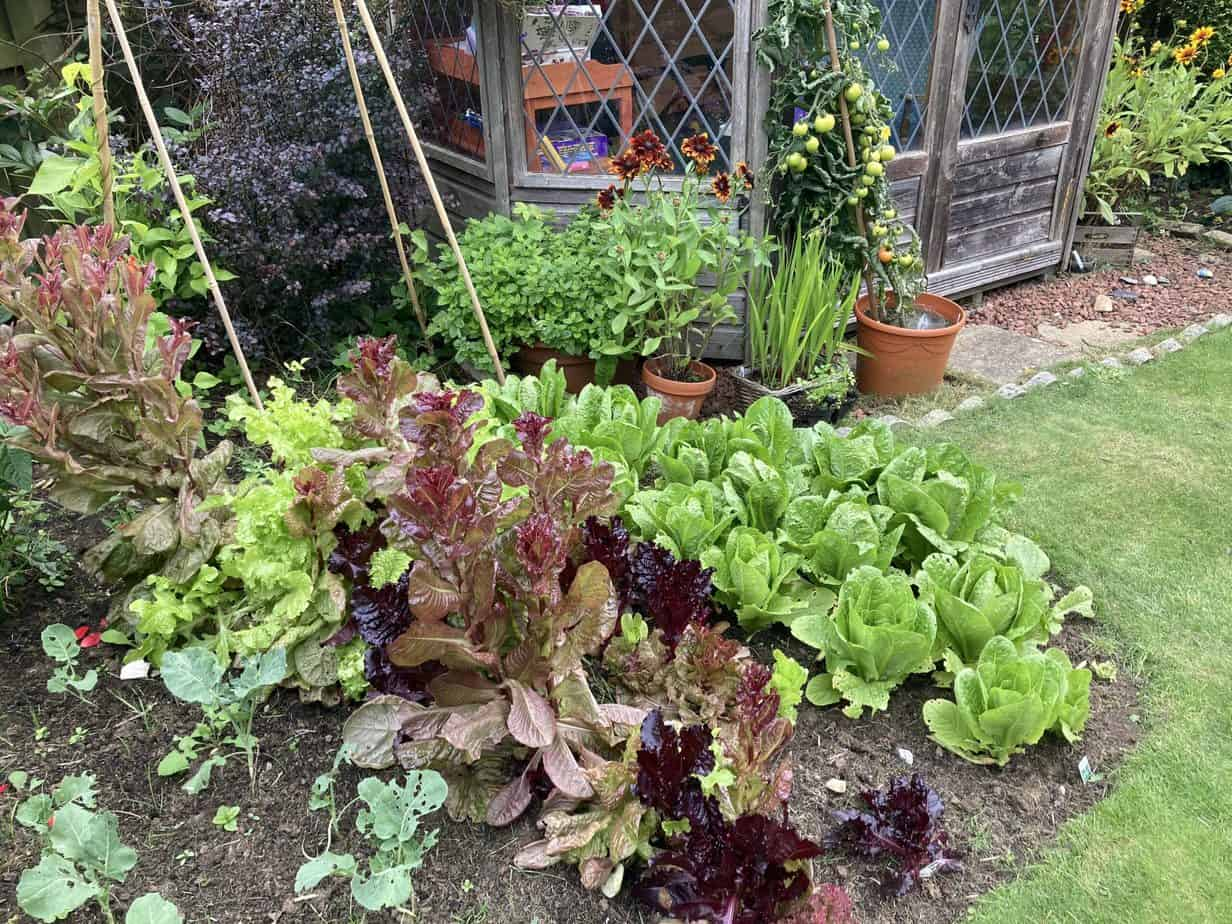 Salad leaves - bolting